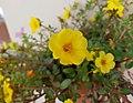 Flor de verdolaga a Xàbia, Marina Alta.jpg