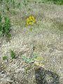 Flora a orillas del Tiétar.jpg