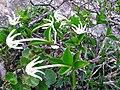 Flores da Chapada 06.jpg