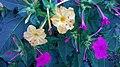 Flores de mesma especie de cores Roxo e Amarela-BA.jpg