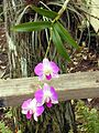 Florida-orchid1.jpg