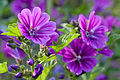 Flower, Common mallow - Flickr - nekonomania.jpg