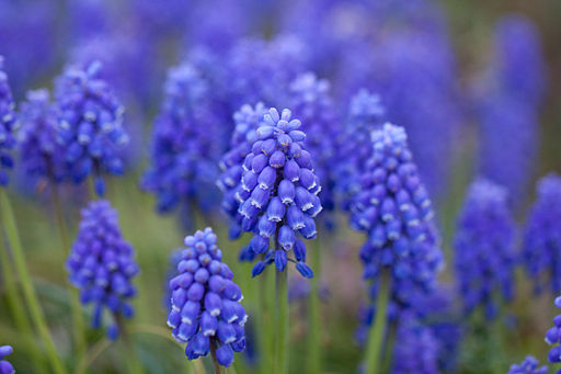English vocabulary spring flowers grape hyacinth mightylinksfo Images