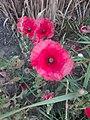 Flower Dortmund 28.jpg