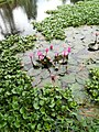 Flower of Water Lily.jpg