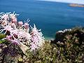 Flowers-Titicaca.JPG