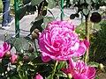 Flowers in kashmir.jpg