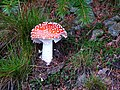 Fly Agaric - geograph.org.uk - 293277.jpg