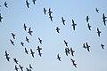Flying birds at Sacramento National Wildlife Refuge.jpg