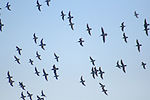 Flying birds at Sacramento National Wildlife Refuge.jpg