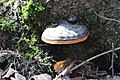 Fomitopsis pinicola 122685667.jpg