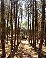 Forêt de bouchaoui.jpg