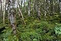 Forest in Yatsugatake 41.jpg