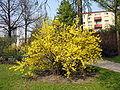 Forsythia x intermedia. 2007-04-27.jpg