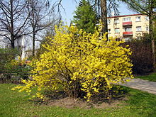 Forsythia x intermedia. 2007-04-27.jpg