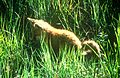 Fox Baby (15015475558).jpg