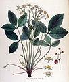 Fragaria elatior — Flora Batava — Volume v17.jpg