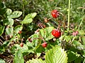 Fragaria vesca close-up 3.jpg