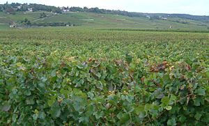 Beaune - Vineyards on the outskirts of Beaune