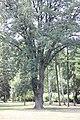 Fraxinus ornus - Crni jasen (11).jpg
