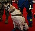 Frida, perra de rescate de la marina.jpg