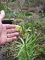 Fritillaria raddeana (8640002266).jpg