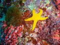 Fromia polypora Many spotted seastar PC290516.JPG