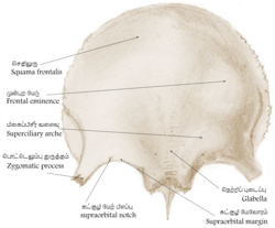 Frontal bone hrtawiki.png