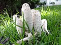 Fungus Coprinus comatus Young State.jpg