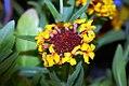 Gaillardia x grandiflora Fanfare 1zz.jpg