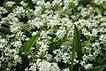 Galium Saxalite - Alpine Flora.jpg