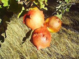 Oak apple - Oak galls on a Pyrenean oak (Quercus pyrenaica) in León, Spain.