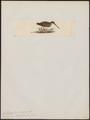 Gallinago horsfieldii - 1820-1860 - Print - Iconographia Zoologica - Special Collections University of Amsterdam - UBA01 IZ17400317.tif