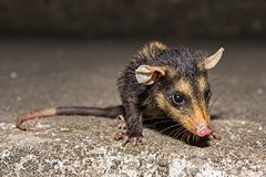 240px gamb%c3%a1 (didelphis marsupialis)