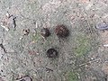 Garcinia rubro-echinata-3-chemunji-kerala-India.jpg