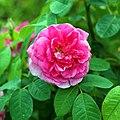 Garden pink rose at Goodnestone Park Kent England.jpg