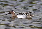 Garganey duck.jpg