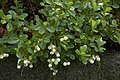 Gaultheria miqueliana aka Miquels spicywintergreen in botanical gargen gothenburg sweden.jpg