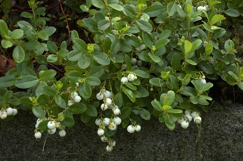 File:Gaultheria miqueliana aka Miquels spicywintergreen in botanical gargen gothenburg sweden.jpg