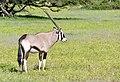 Gemsbok (Oryx gazella) male ... (51085611892).jpg