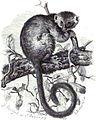 Gentle Lemur Sclater.jpg