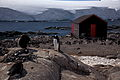 Gentoo penguins and shack at Port Lockroy.jpg