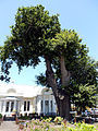 George Old Oak Slave Tree.JPG