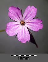Geranium robertianum (s. str.) sl12.jpg