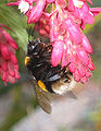 Gewone aardhommel koningin op Ribes sanguineum (Bombus terrestris).jpg