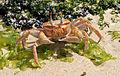 Ghost crab Santa Cruz, Cerro Dragon, Galapagos.jpg