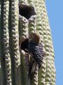 Gila Woodpecker . Melanerpes uropygialis - Flickr - gailhampshire (2).jpg