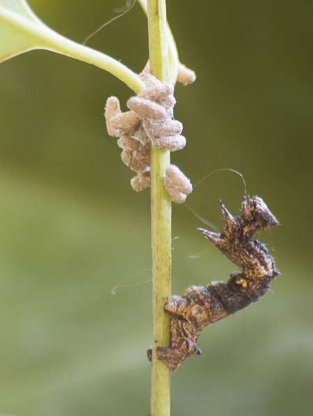 A caterpillar of the geometrid moth Thyrinteina leucocerae with pupae of the parasitoid wasp Glyptapanteles sp. (Photo credit:Prof. José Lino-Neto )