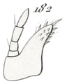Gnorimus variabilis larva maxille.png