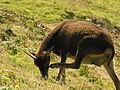 Goats on Lundy (6).jpg